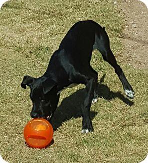 Beagle/Labrador Retriever Mix Dog for adoption in Las Cruces, New Mexico - Bruiser