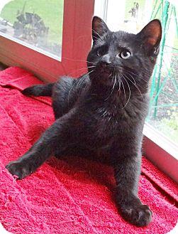 Domestic Shorthair Kitten for adoption in N. Billerica, Massachusetts - Serpico