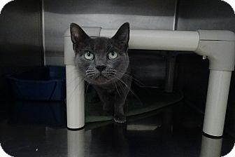 Domestic Shorthair Cat for adoption in Elyria, Ohio - Simone