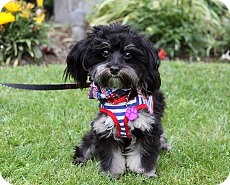 Yorkie, Yorkshire Terrier/Poodle (Toy or Tea Cup) Mix Puppy for adoption in Newport Beach, California - MILTON