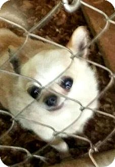 Chihuahua Dog for adoption in Melville, New York - Brady