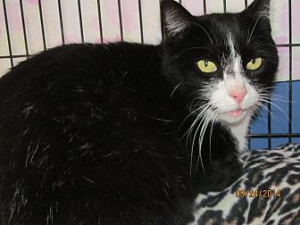 Domestic Shorthair Cat for adoption in Corinth, New York - Buddy