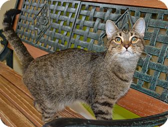 Domestic Shorthair Cat for adoption in Michigan City, Indiana - Ginger