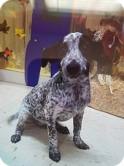 Blue Heeler/Beagle Mix Puppy for adoption in Patterson, New York - Bailey