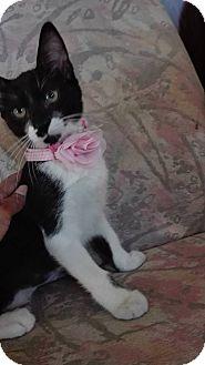 Domestic Shorthair Kitten for adoption in San Diego, California - Amy