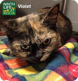Domestic Shorthair Cat for adoption in Oakville, Ontario - Violet