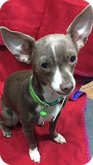 Chihuahua Dog for adoption in Sterling Heights, Michigan - Pamela