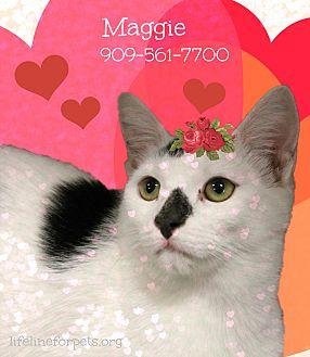 Domestic Shorthair Cat for adoption in Monrovia, California - A Sweet Pair: MAGGIE & Chaplin