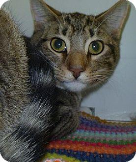 Domestic Shorthair Cat for adoption in Hamburg, New York - Donner