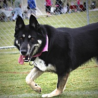 German Shepherd Dog Dog for adoption in Monroe, North Carolina - Hachi