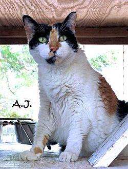 Calico Cat for adoption in Sarasota, Florida - A.J