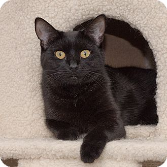 Domestic Shorthair Cat for adoption in Wilmington, Delaware - Sumatra