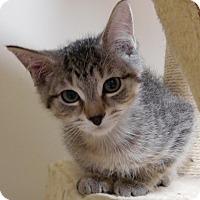 Domestic Shorthair Kitten for adoption in Cloquet, Minnesota - Evan