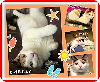 Calico Cat for adoption in Mooresville, North Carolina - CARLY