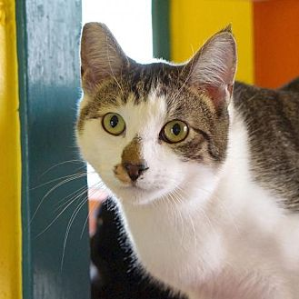 Domestic Shorthair Cat for adoption in Alameda, California - Ben