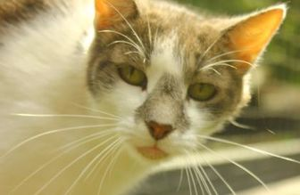 American Shorthair/Domestic Shorthair Mix Cat for adoption in Ravenel, South Carolina - Dell