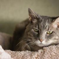 Adopt A Pet :: Anya - Boise, ID
