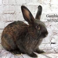 Adopt A Pet :: *GAMBINO - Camarillo, CA