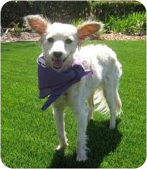 Papillon Mix Dog for adoption in San Diego, California - Sweetheart