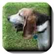 Basset Hound Dog for adoption in Marietta, Georgia - Melba