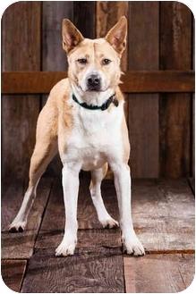 Akita/Australian Cattle Dog Mix Dog for adoption in Portland, Oregon - Jones