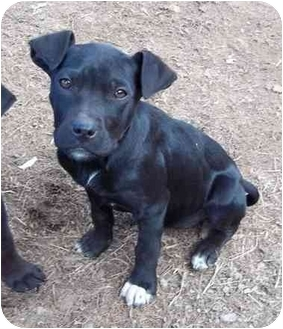 American Pit Bull Terrier/Labrador Retriever Mix Dog for adoption in Windham, New Hampshire - Eda reduced fee to $200