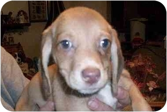 Beagle Mix Puppy for adoption in Ventnor City, New Jersey - KIMBERLY
