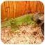 Photo 1 - Iguana for adoption in HOUSTON, Texas - DAMON