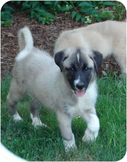 Great Pyrenees Mix Puppy for adoption in Worcester, Massachusetts - Will
