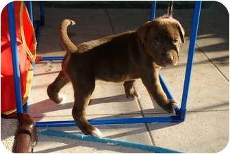 American Pit Bull Terrier Puppy for adoption in Virginia Beach, Virginia - Diesel