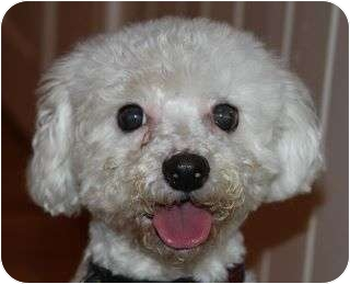 Bichon Frise Dog for adoption in North Plainfield, New Jersey - Chip