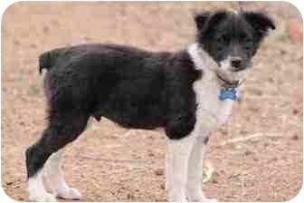 Border Collie Mix Puppy for adoption in San Pedro, California - BAJA