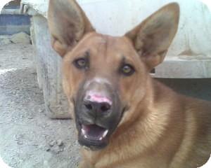 Shepherd (Unknown Type) Mix Dog for adoption in Las Vegas, Nevada - Gideon