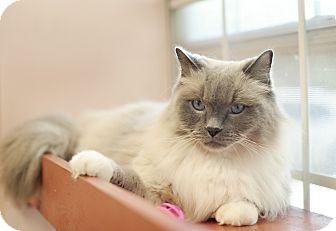 Himalayan Cat for adoption in Carencro, Louisiana - Romeo