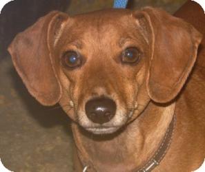 Dachshund Dog for adoption in Freeport, Maine - YoYo
