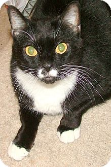 Domestic Shorthair Cat for adoption in Chattanooga, Tennessee - Lady