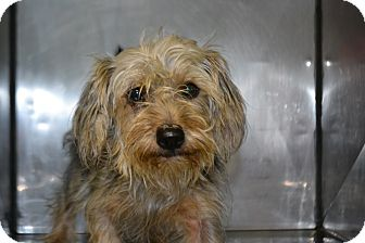 Yorkie, Yorkshire Terrier/Poodle (Miniature) Mix Dog for adoption in Edwardsville, Illinois - Queen
