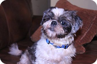 Shih Tzu Dog for adoption in Rockwall, Texas - Brody