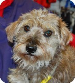 Schnauzer (Miniature) Mix Dog for adoption in Brooklyn, New York - Lexa