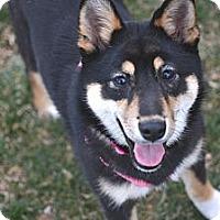 Adopt A Pet :: Namiko - Centennial, CO