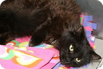 Domestic Longhair Cat for adoption in Jackson, New Jersey - Martha