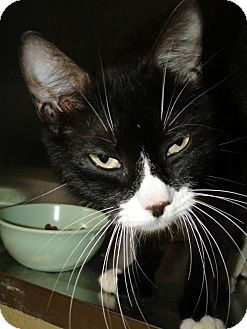 Domestic Shorthair Cat for adoption in Brooksville, Florida - 1022966