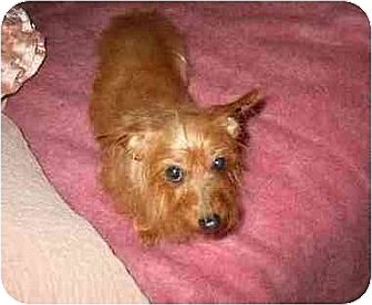 Dachshund/Yorkie, Yorkshire Terrier Mix Dog for adoption in Old Fort, North Carolina - Prissy