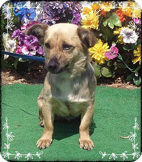 Dachshund Mix Dog for adoption in Marietta, Georgia - FAITH (R)