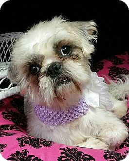 Shih Tzu Mix Dog for adoption in Urbana, Ohio - Waffles