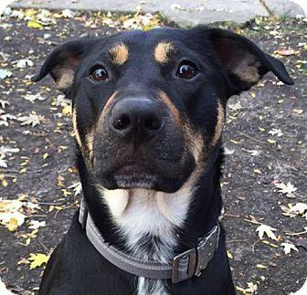 Shepherd (Unknown Type) Mix Dog for adoption in Chicago, Illinois - Bean