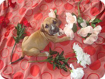 Shepherd (Unknown Type)/Plott Hound Mix Puppy for adoption in Old Bridge, New Jersey - Dani