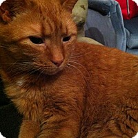 Domestic Shorthair Cat for adoption in Baltimore, Maryland - Moe - COURTESY POST