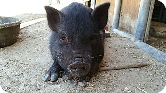 Pig (Potbellied) for adoption in Los Angeles, California - Puddles