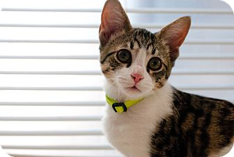 Domestic Shorthair Cat for adoption in Huntsville, Alabama - Bo